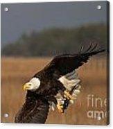 Bald Eagle Catches Fish Acrylic Print