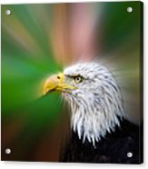 Bald Eagle Color  Acrylic Print