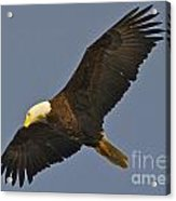 Bald Eagle Fly Over Acrylic Print