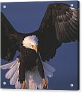 Bald Eagle Hovering In The Air Acrylic Print
