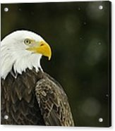 Bald Eagle In Ecomuseum Zoo Acrylic Print