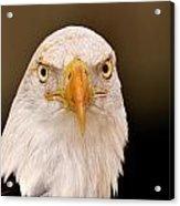 Bald Eagle Looking In Acrylic Print