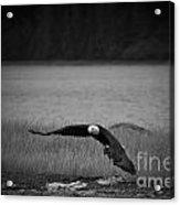 Bald Eagle Take Off Series 4 Of 8 Acrylic Print