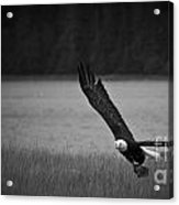 Bald Eagle Take Off Series 5 Of 8 Acrylic Print