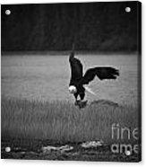 Bald Eagle Take Off Series 6 Of 8 Acrylic Print