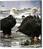 Bald Eagle Trio Acrylic Print