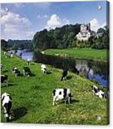 Ballyhooley, Co Cork, Ireland Friesian Acrylic Print