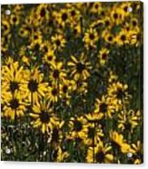 Balsamroot Field In Grand Teton Acrylic Print