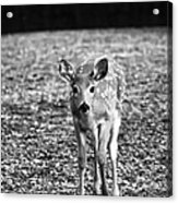 Bambi In Black And White Acrylic Print