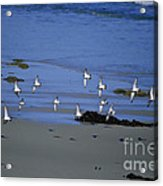 Band Of Seagulls Acrylic Print
