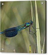 Banded Demoiselle Calopteryx Splendens Acrylic Print by Konrad Wothe