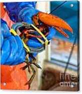 Banding An American Lobster In Chatham On Cape Cod Acrylic Print