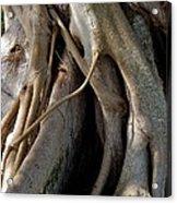 Banyan Acrylic Print