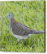 Bar-shouldered Dove Acrylic Print