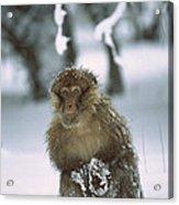Barbary Macaque Macaca Sylvanus Male Acrylic Print