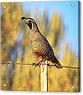 Barbed Wire Quail Acrylic Print
