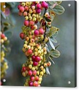 Barberry (berberis Sp.) Acrylic Print