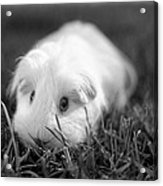Barbie Guinea Pig Acrylic Print