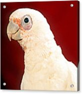 Bare Eyed Cockatoo Acrylic Print