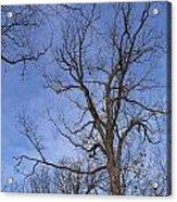 Bare Trees With Blue Sky Acrylic Print