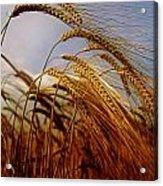Barley, Co Meath, Ireland Acrylic Print