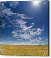 Barley Field Near Airdrie, Alberta Acrylic Print