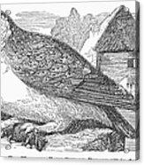 Barn Owl, 1877 Acrylic Print
