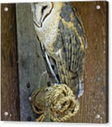 Barn Owl At Roost Acrylic Print