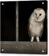 Barn Owl In Window Acrylic Print