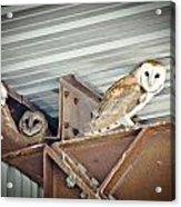 Barn Owls 1 Acrylic Print