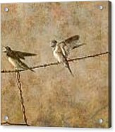 Barn Swallows On Barbed Wire Fence Acrylic Print