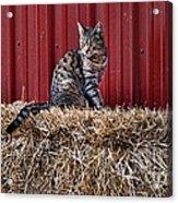 Barnyard Cat Acrylic Print