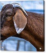 Barnyard Goat Acrylic Print