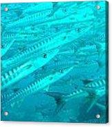 Barracuda Sipidan Borneo Acrylic Print