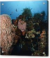 Barrel Sponge On Liberty Wreck, Bali Acrylic Print