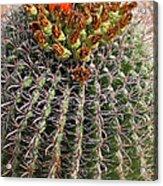 Barrell Cactus II Acrylic Print
