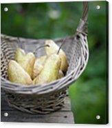 Basket Of Freshly Picked Pears. Acrylic Print by Dougal Waters