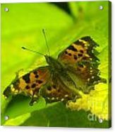 Basking Butterfly  Acrylic Print