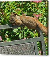 Basking Squirrel Acrylic Print