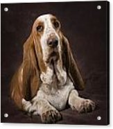 Basset Hound On A Brown Muslin Backdrop Acrylic Print