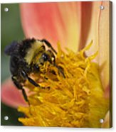 Bathing In Pollen  Acrylic Print