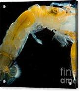 Bay Ghost Shrimp Acrylic Print