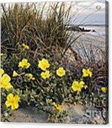 Beach Evening Primrose On Folly Beach - D001782 Acrylic Print