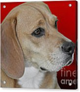 Beagle - A Hound's Hound Acrylic Print by Christine Till