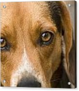 Beagle Hound Dog Eyes Of Love Acrylic Print