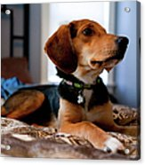 Beagle Mix Puppy Acrylic Print