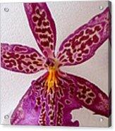 Beallara Marfitch - Howard's Dream - Orchid Acrylic Print