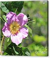Beaming Wild Rose Acrylic Print