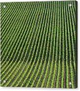 Bean Field, Holland, Manitoba Acrylic Print
