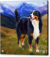 Bear - Bernese Mountain Dog Acrylic Print by Michelle Wrighton